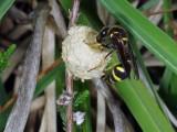 Heath Potter wasp - Eumenes coarctatus