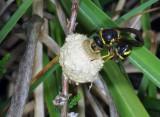 Heath Potter Wasp