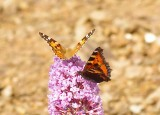 Painted Lady with a Red Admiral