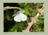 Large White, Pieris brassicae