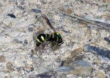Video of Heath Potter Wasp.