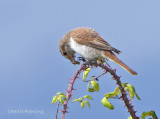 Red backed Shrike - Lanius collurio