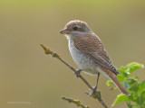 Red backed Shrike - Lanius collurio