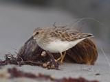 Least Sandpiper (Calidris minutilla)