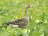 White fronted Goose - Anser albifrons