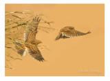 Skylark - Alauda arvensis