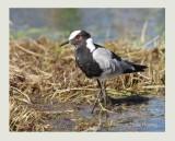 Blacksmith Plover (Vanellus armatus)