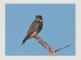 Merlin (Falco columbarius)
