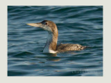 White-billed Diver (Gavia adamsii)