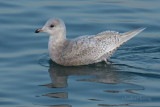 Iceland Gull (Larus glaucoides)