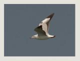 Brown-headed Gull, Chroicocephalus brunnicephalus,