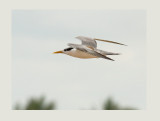 Lesser Crested Tern (Thalasseus bengalensis)