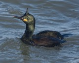 Shag - Phalacrocorax aristotelis