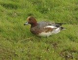 Widgeon - Anas penelope