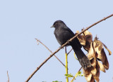 Northern Black Flycatcher (Melaenornis edolioides)