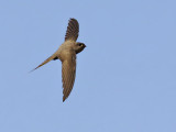 African  Palm Swift (Cypsiurus parvus)