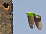 Senegal Parrot (Poicephalus senegalus)
