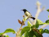 Variable Sunbird - Cinnyris venustus