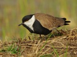 Spur-winged Plover - Vanellus spinosus)
