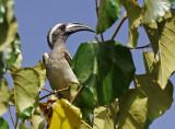 African grey hornbill (Tockus nasutus)