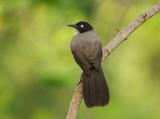 Blackcap Babbler (Turdoides reinwardtii)