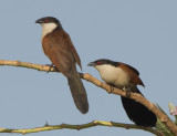Senegal Coucal (Centropus senegalensis)