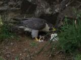 Female feeding her two chicks.