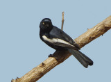 White-shouldered Black Tit (Parus guineensis)