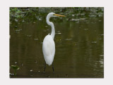 Eastern Great Egret (Ardea alba modesta)