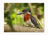 Giant Kingfisher Megaceryle maxima