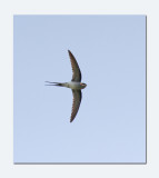 Crested Tree swift (Hemiprocne coronata)
