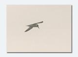 Little Tern - Sturnela albifrons