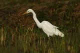 Intermediate Egret - (Mesophoyx intermedia)