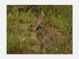 Indian Hare - Lepus nigricollis