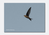 Asian Palm Swift (Cypsiurus balasiensis)