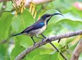 Lotens Sunbird-Cinnyris lotenius