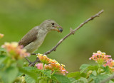 Pale-billed flowerpecker or Tickell's flowerpecker (Dicaeum erythrorhynchos)