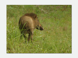 Indian boar (Sus scrofa cristatus)