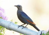 Red-winged Starling (Onychognathus morio)