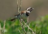 Cape sparrow or mossie (Passer melanurus)