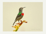 Southern Double - collared Sunbird