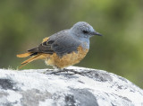 Cape rock thrush (Monticola rupestris)