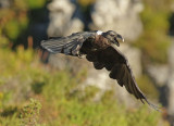 White-necked Raven - Corvus albicollis