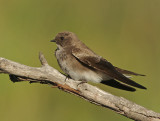 Brown throated Martin  (Riparia paludicola)