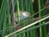 Cape reed warbler (Acrocephalus gracilirostris)