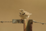 Calandra lark (Melanocorypha calandra)