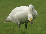 Whooper swan (pronounced hooper