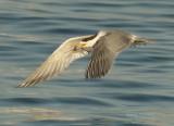 Swift Tern  (Thalasseus bergii)