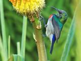 Lesser Double-collared Sunbird, Cinnyris chalybeus