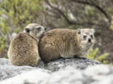 Rock Hyrax - Procavia capensis